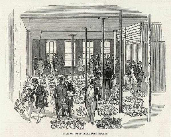 Pineapples Drawing - The West India Company's Great  Sale by  Illustrated London News Ltd/Mar