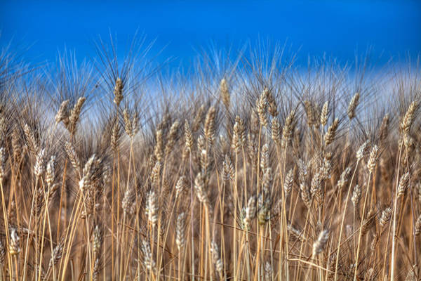Photograph - The Wheat Field by Karim SAARI