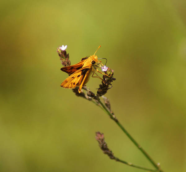 Photograph - The Whirlabout Skipper Butterfly by Kim Pate