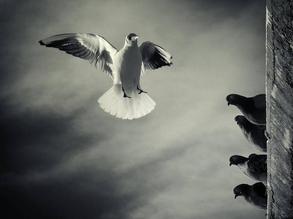 Flying Bird Photograph - The White And The Blacks by Marco Bianchetti