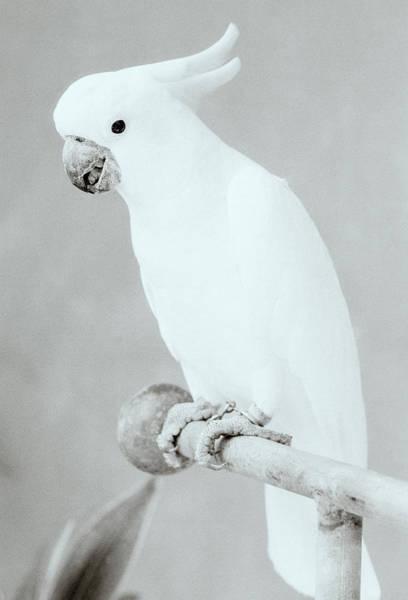 Photograph - The White Cockatoo by Shaun Higson