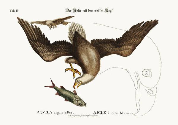 Bald Eagles Drawing - The White-headed Eagle by Splendid Art Prints