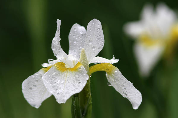 Photograph - The White Iris by Juergen Roth