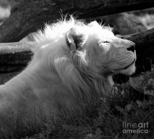 Tan Cat Wall Art - Photograph - The White King by Marcia Lee Jones