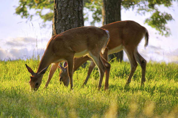 Photograph - The Whitetail Deer Of Mt. Nebo - Arkansas by Jason Politte