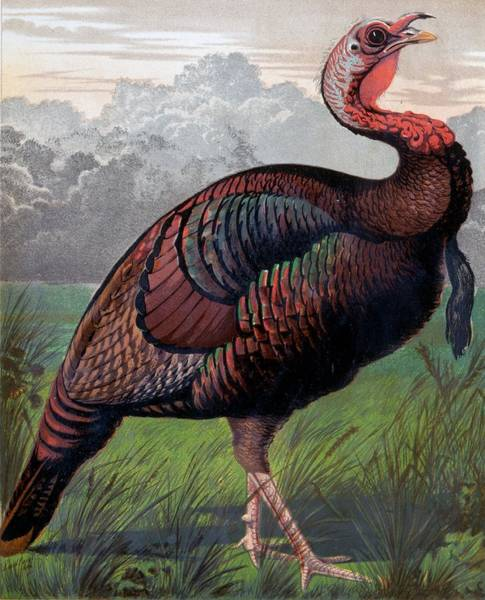 Wall Art - Drawing - The Wild American Turkey Cock by Ludlow