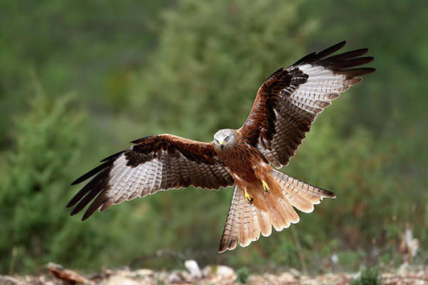 Off Photograph - The Wings Of The Red Kite by Nicol??s Merino