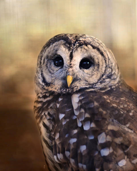 Photograph - The Wise Owl by Jai Johnson