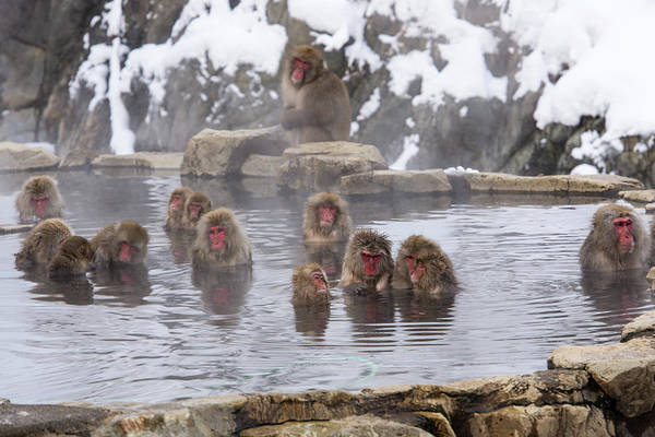 Snow Monkey Photograph - The World Of Snow Monkey by I Love Photo And Apple.