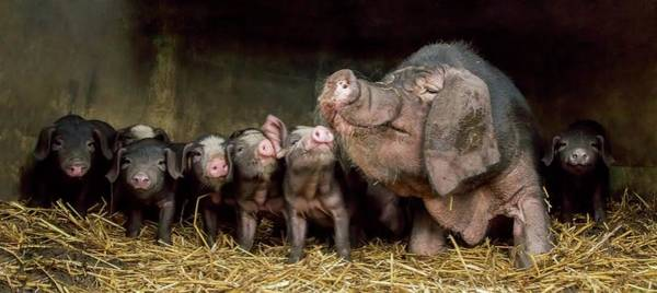 Pig Photograph - The Wrinkled Ones by Gert Van Den
