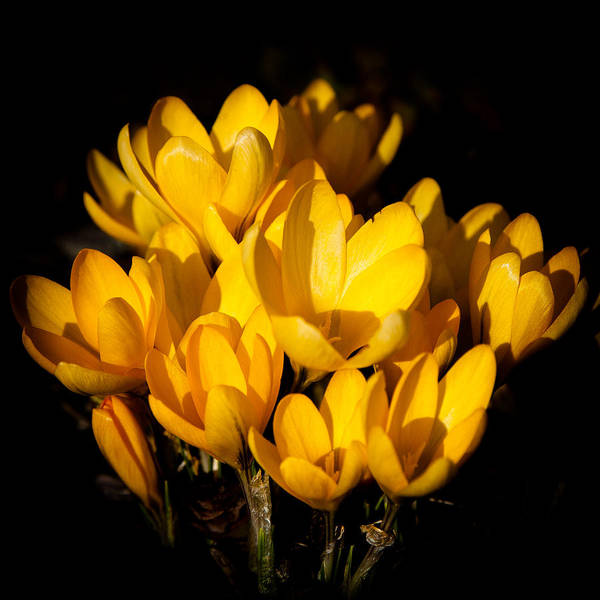 Photograph - The Yellow Crocus by David Patterson