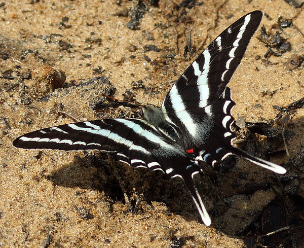 Photograph - The Zebra Swallowtail Butterfly by Kim Pate