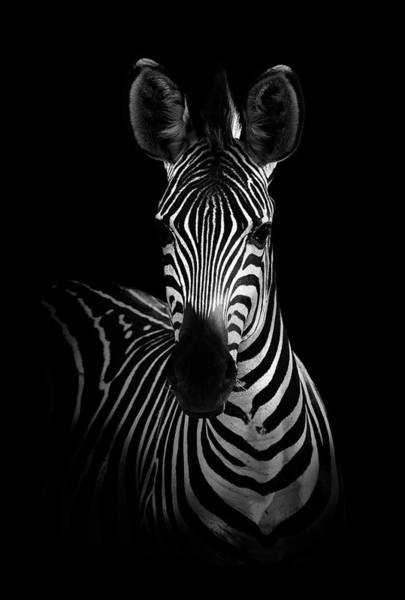 Wall Art - Photograph - The Zebra by Wildphotoart