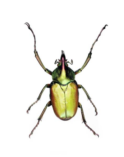 Coleoptera Photograph - Theodosia Flower Beetle by Lawrence Lawry