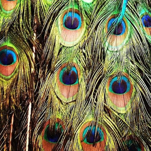 Bird Photograph - Peacock Feathers by Blenda Studio