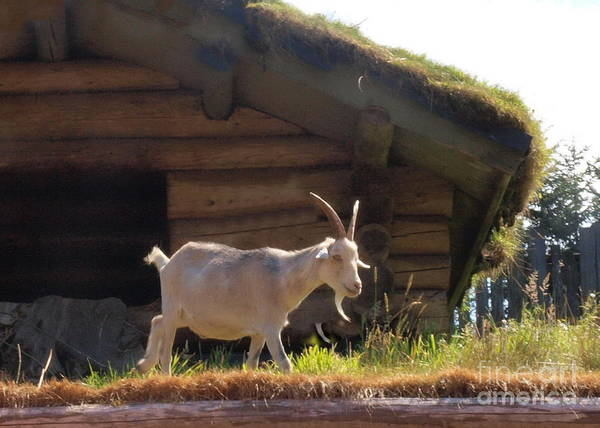 Photograph - There's A Goat On My Roof by Vivian Martin
