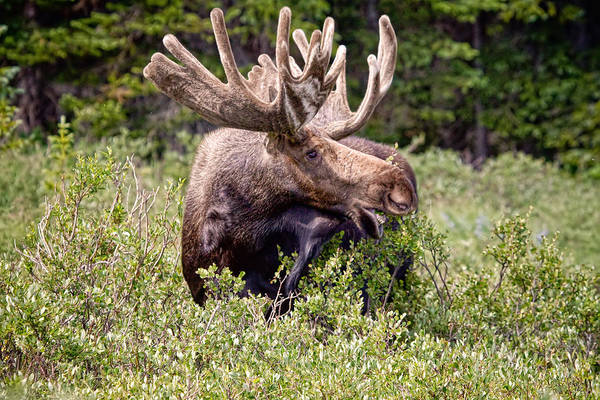Moose Art Photograph - There's A Moose Loose by James BO Insogna