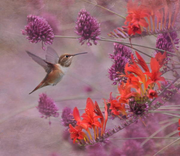 Rufous Photograph - There's Purple In My Crocosmia by Angie Vogel