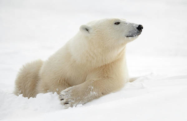 Polar Bear Photograph - There's Something In The Air by Marco Pozzi