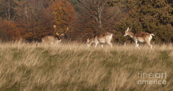 Doe Photograph - These Ladies Are With Me by Nigel Jones