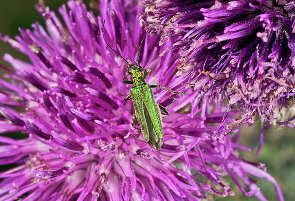Angiosperms Wall Art - Photograph - Thick-legged Flower Beetle On Knapweed by Bob Gibbons