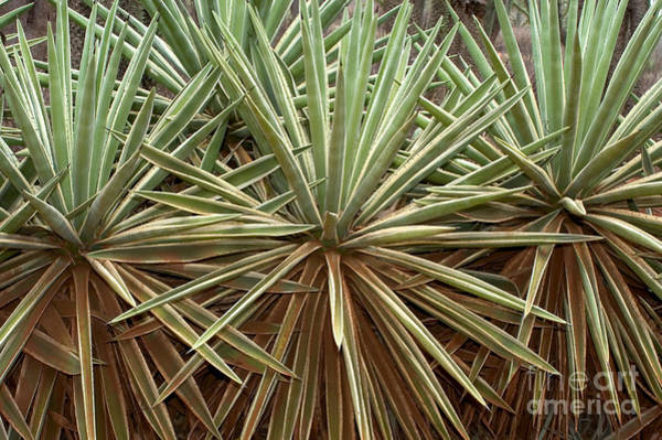 Thicket Photograph - Thicket Of Sisal, Madagascar by Greg Dimijian