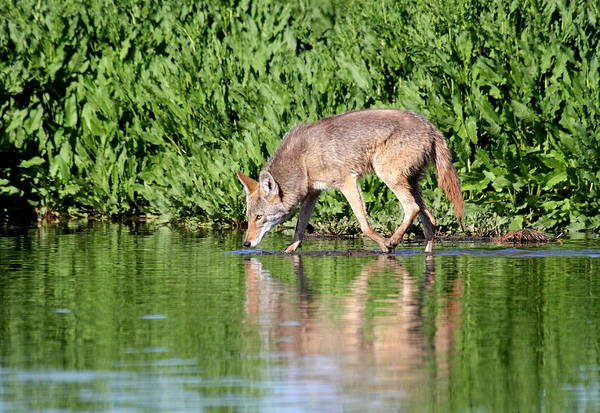 Wall Art - Photograph - Thirsty Coyote by Ruth Jolly