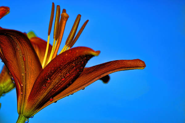 Thirsty Lily In Hdr Art  Art Print