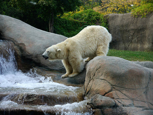 Photograph - Thirsty Polar Bear by Richard Reeve
