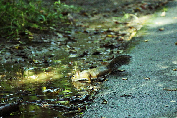 Photograph - Thirsty Squirrel by Lorna R Mills DBA  Lorna Rogers Photography