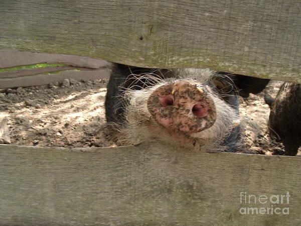 Pigpens Photograph - This Little Piggy by Michael Madlem