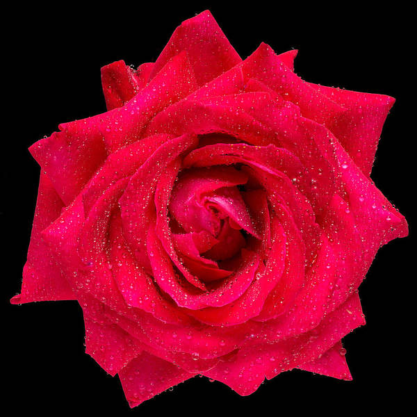 Wall Art - Photograph - This Red Rose by Steve Gadomski