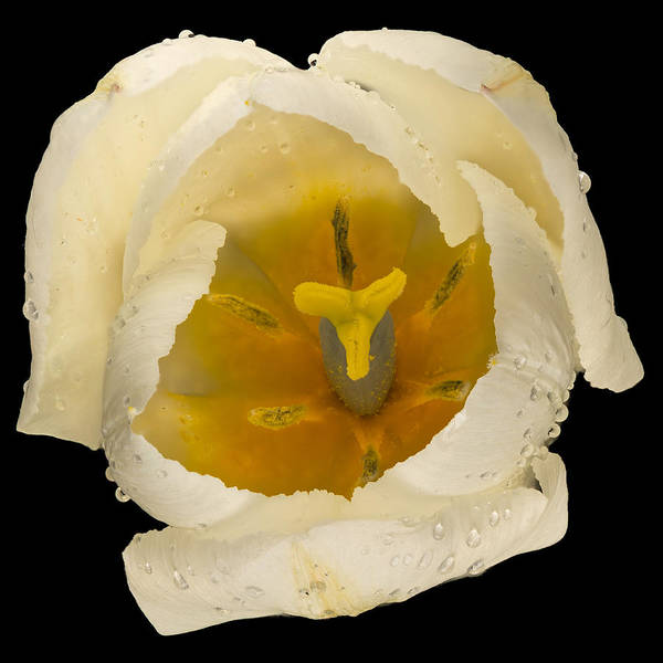 Wall Art - Photograph - This White Tulip by Steve Gadomski