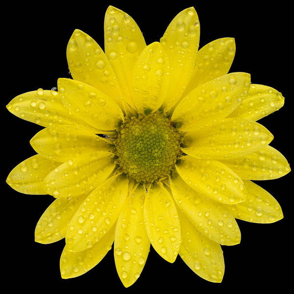 Wall Art - Photograph - This Yellow Daisy by Steve Gadomski