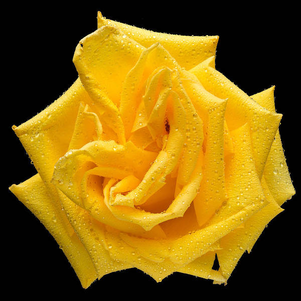 Wall Art - Photograph - This Yellow Rose by Steve Gadomski