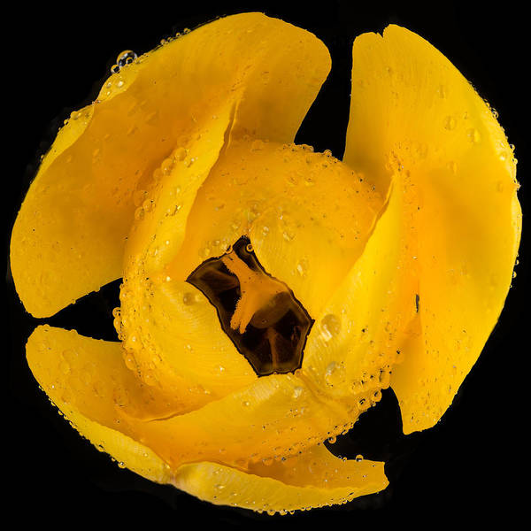 Wall Art - Photograph - This Yellow Tulip by Steve Gadomski