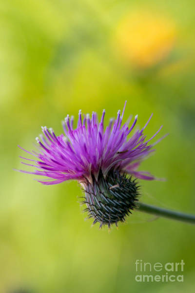 Photograph - Thistle Bloom by Jim McCain