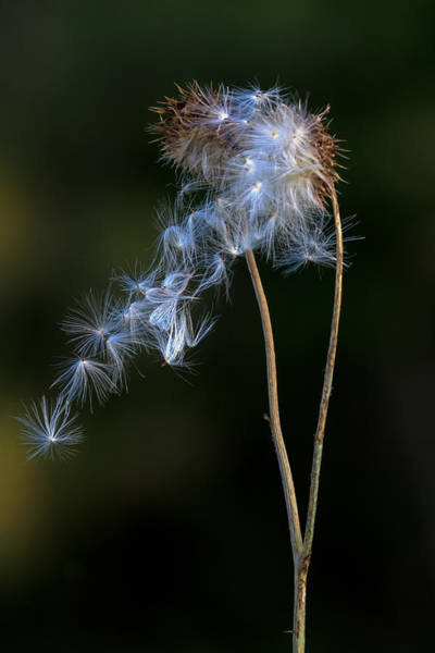 Photograph - Thistle Blowing In The Wind by Jerry Gammon