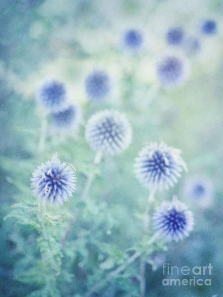 Thistle Photograph - Thistle Dream by Priska Wettstein