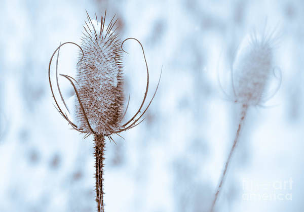 Photograph - Thistle In Snowfall 2 by Michael Arend