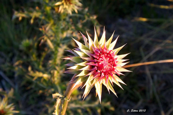 Photograph - Thistle Me by C Sitton