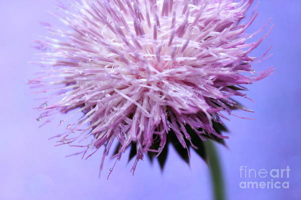 Thistle Photograph - Thistle Queen by Krissy Katsimbras