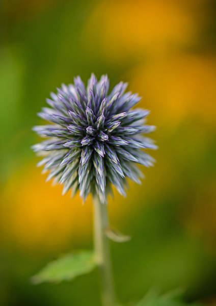 Photograph - Thistle by Robert Mitchell