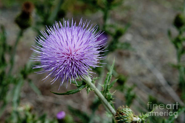 Mission Bc Photograph - Thistle by Rod Wiens