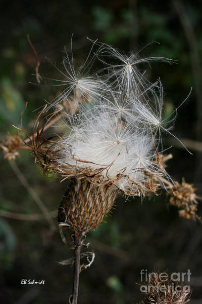 Photograph - Thistle Seeds by E B Schmidt