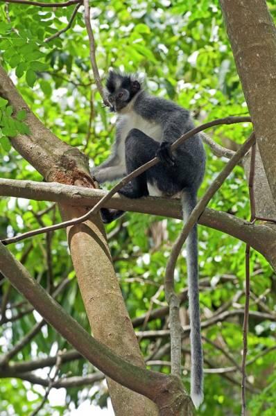 Leaf Monkey Wall Art - Photograph - Thomas's Leaf-monkey by Tony Camacho/science Photo Library