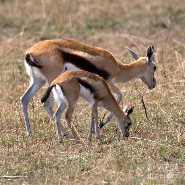 Photograph - Thompson Gazelles by Chris Scroggins