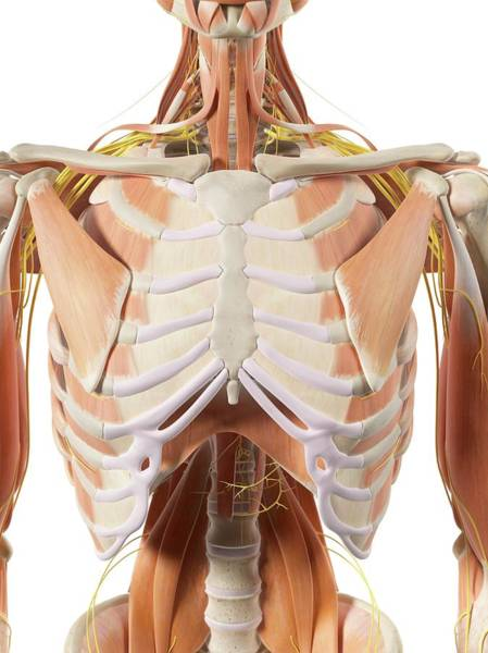 Thoracic Muscles And Nerves Art Print
