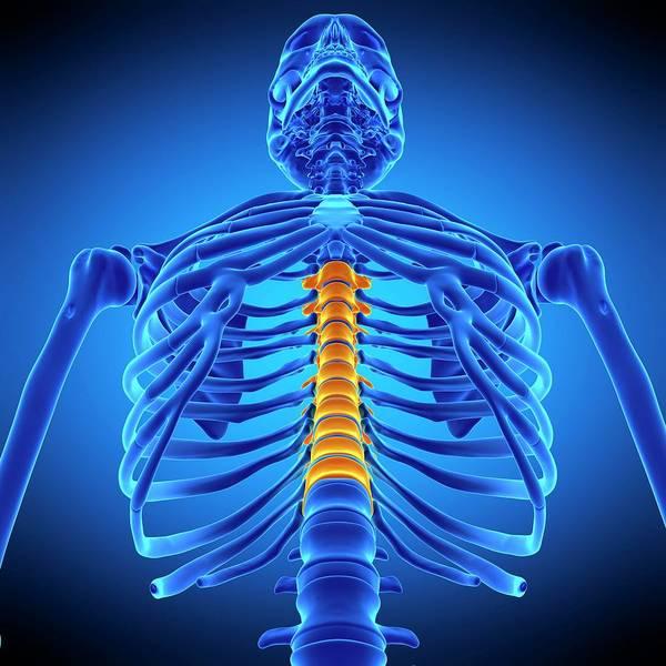 Chronic Pain Wall Art - Photograph - Thoracic Spine by Sebastian Kaulitzki/science Photo Library