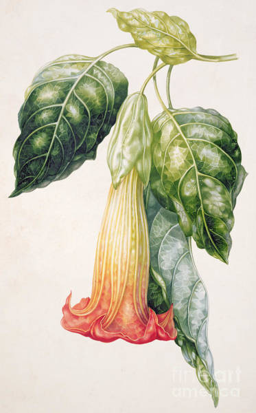 Yellow Trumpet Wall Art - Painting - Thorn Apple Flower From Ecuador Datura Rosei by Augusta Innes Withers